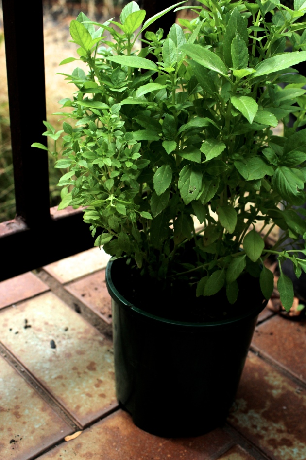greek basil