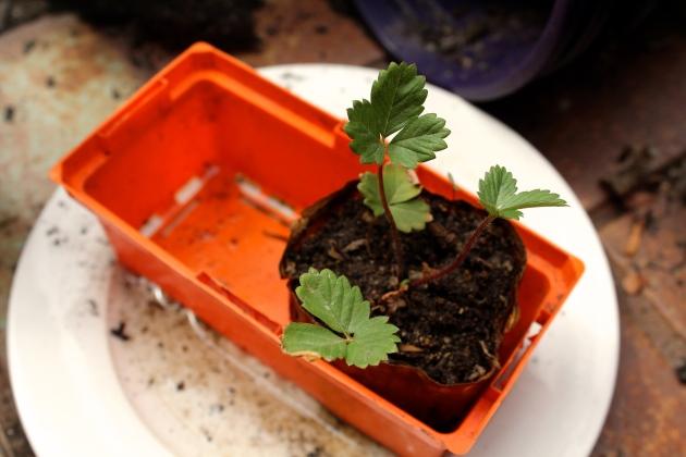 alpine strawberry seedling